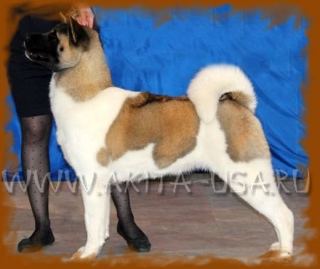 American Akita Regal Akitas American dream - kennel JAPONSKIY SAD.