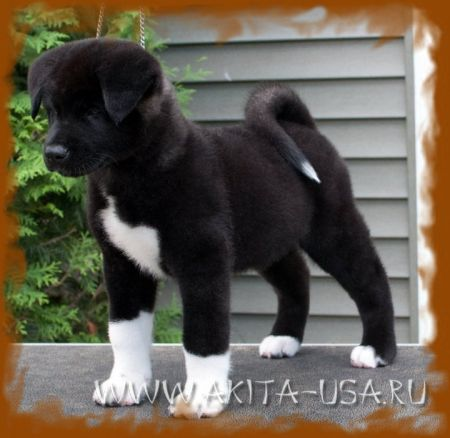 American Akita ORIENT PRIDE ESPECIALLY FOR JAPONSKIY SAD - kennel JAPONSKIY SAD.