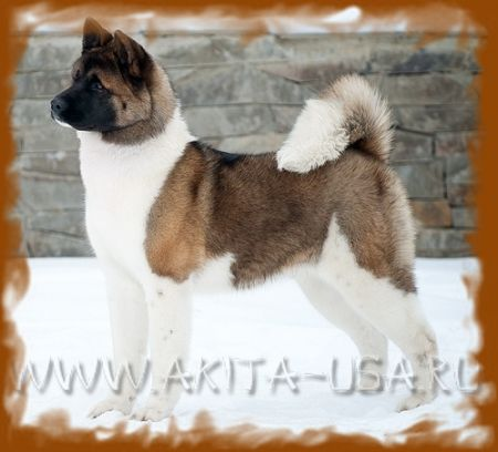 American Akita Japonskiy Sad One and only - kennel JAPONSKIY SAD.