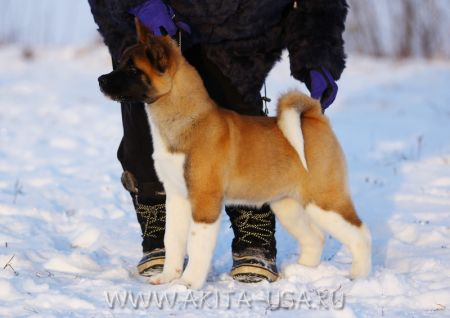 American Akita Japonskiy Sad's How Lucky - kennel JAPONSKIY SAD.