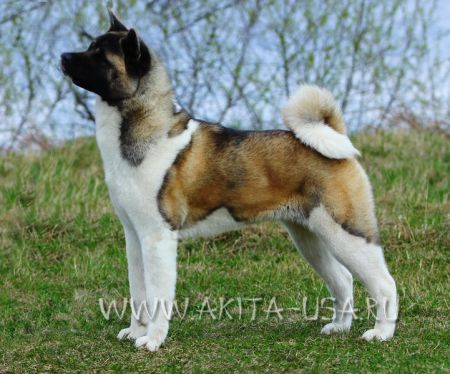 American Akita Japonskiy Sad Lots of Love - kennel JAPONSKIY SAD.