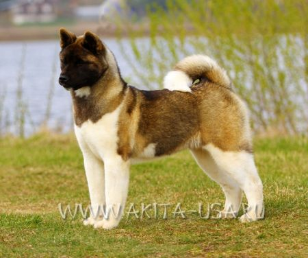 American Akita Japonskiy Sad Heart will go on - kennel JAPONSKIY SAD.