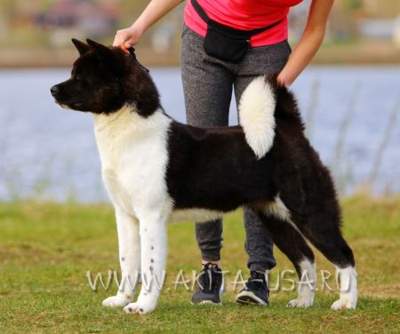 American Akita Japonskiy Sad Now or Never - kennel JAPONSKIY SAD.