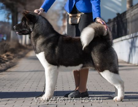 American Akita Japonskiy Sad's Champion Of the Day - kennel JAPONSKIY SAD.