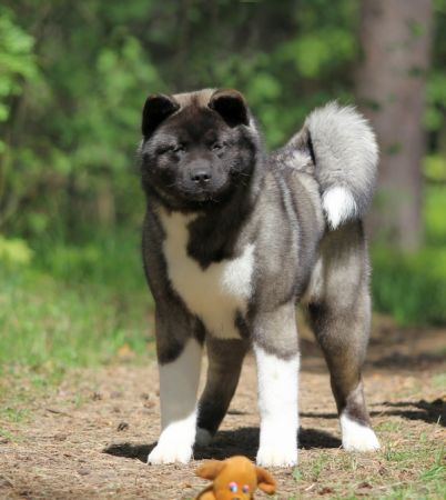 American Akita Japonskiy Sad's Out of This World - kennel JAPONSKIY SAD.