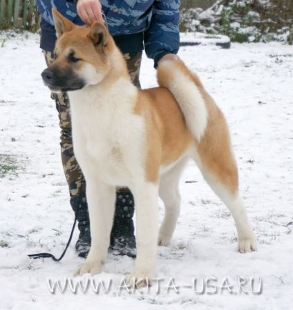 American Akita Japonskiy Sad Dance with Me - kennel JAPONSKIY SAD.
