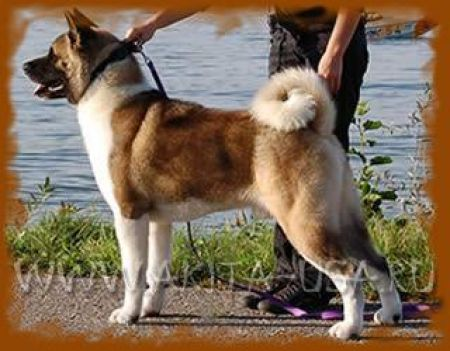 American Akita Брюс - kennel JAPONSKIY SAD
