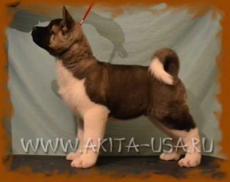 American Akita JAPONSKIY SAD J-DARK NIGHT - kennel JAPONSKIY SAD.