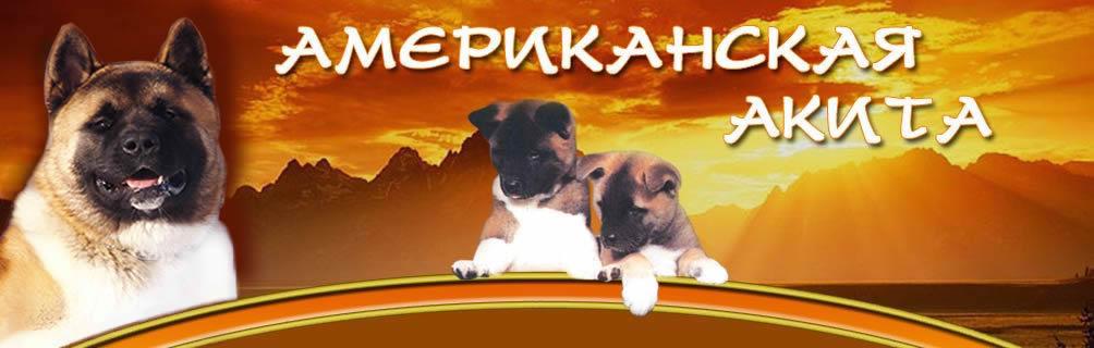 Акита, Американская акита (большая японская собака)